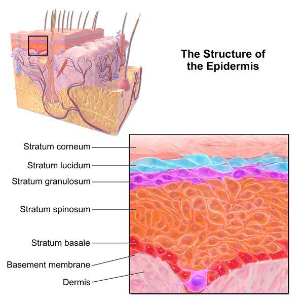 Epidermis-structure diagram labeled