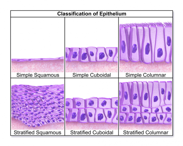 Epithelium Classification