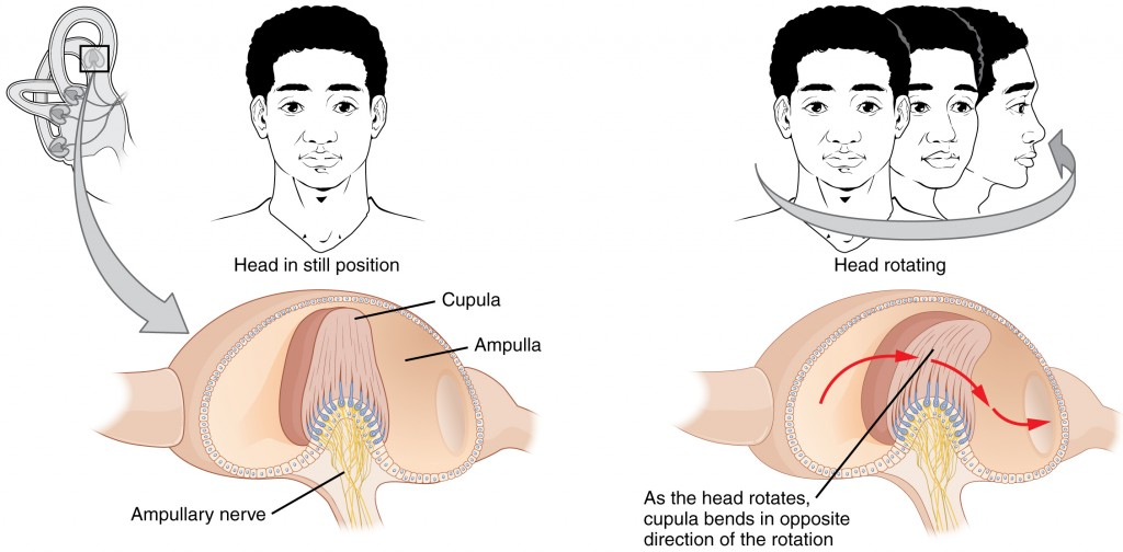 Rotational movement of the head is encoded by the hair cells in the base of the semicircular canals.