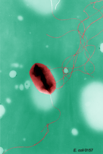 Escherichia coli flagella
