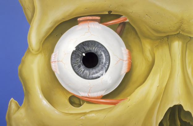 Eye orbit anatomy – anterior view