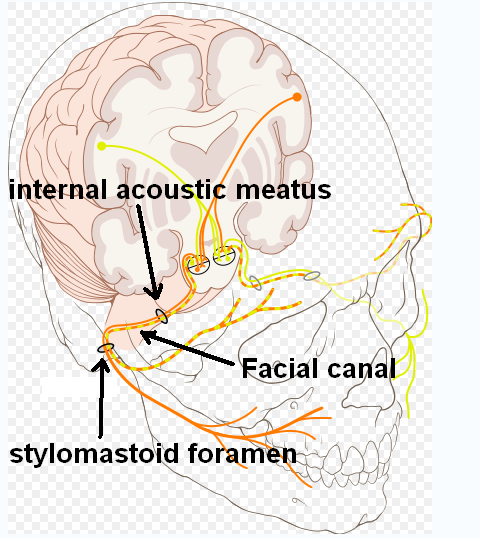 Nervus facialis