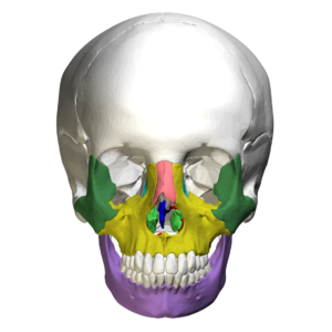 Anterior view of the facial bones