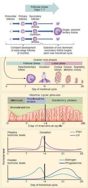 menstural cycle dysfunctional uterine bleeding