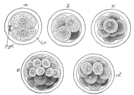 First stages of division of mammalian embryo