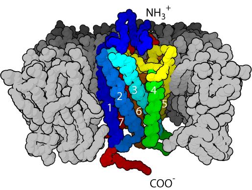 G-Protein-Coupled-Receptor-7TM4-GPCR