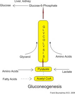 Gluconeogenesis summary