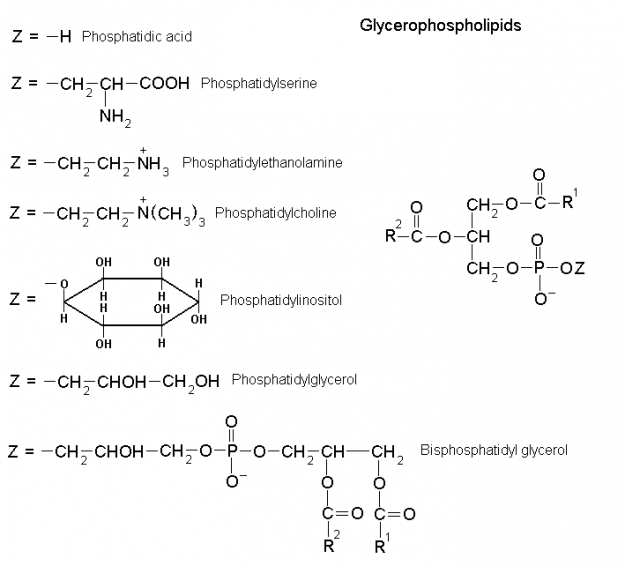 Glycerophospholipids