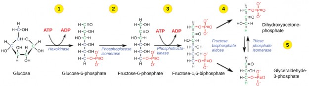 Glycolysis-Phase-1-5