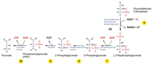 Glycolysis-Phase-6-10