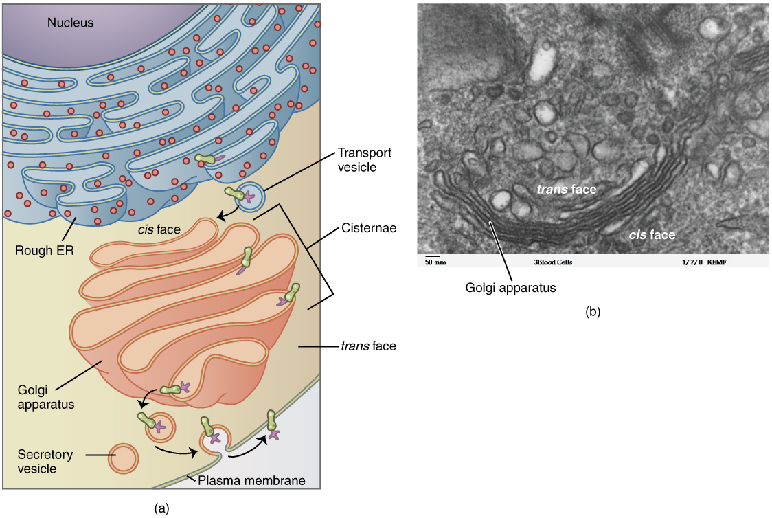 Cytology Structure And Functions Of The Cell Prokaryotic Diagram Labeled As Iimage Golgi Apparatus By Philschatz License Cc 40