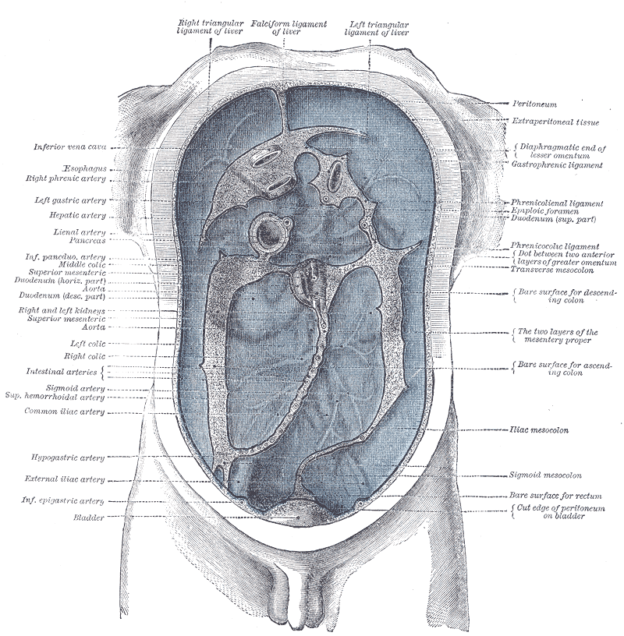 Anatomy of the Peritoneum | The Lecturio Medical Online Library