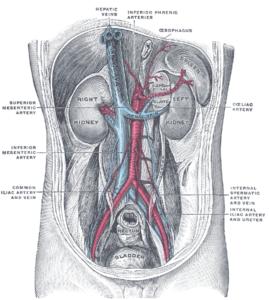 posterior abdominal wall gray1121
