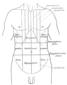 Abdomen Anatomy drawing