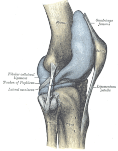 Capsule of right knee-joint (distended). Lateral aspect.