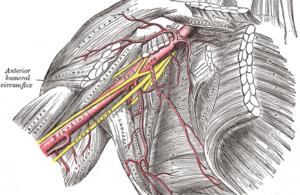 Gray523 brachial plexus