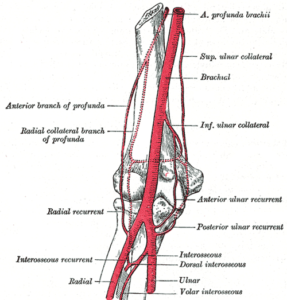 Arterial supply of arm and forearm