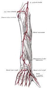Gray529 ulnar artery