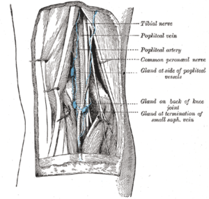 popliteal-fossa-lower-limb-anatomy