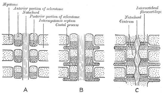 diagram showing the differentiation of somites