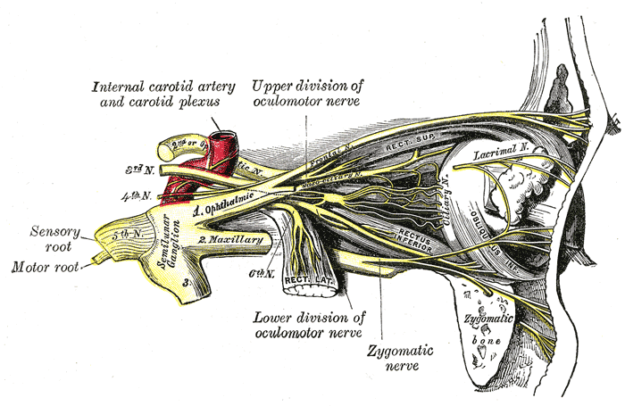 Nerves of the orbit, and the ciliary ganglion – side view