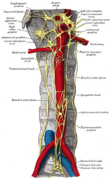 sympathetic ganglia nerve tissue