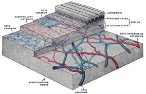 cutaneous circulation