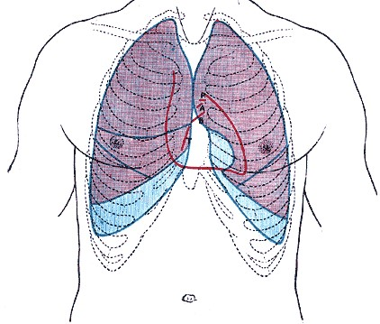 Heart and thorax