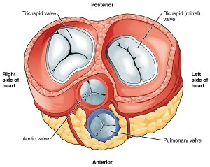 "Image: ""Heart Valves"" by Phil Schatz. Licence: CC BY 4.0"