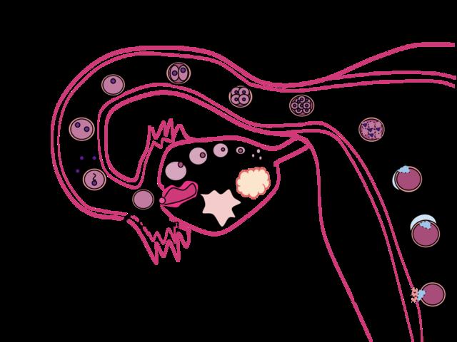 Human Fertilization scheme