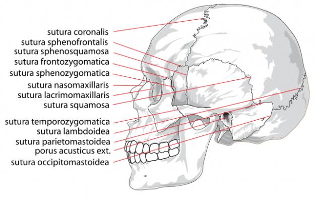 Human skull side suturas