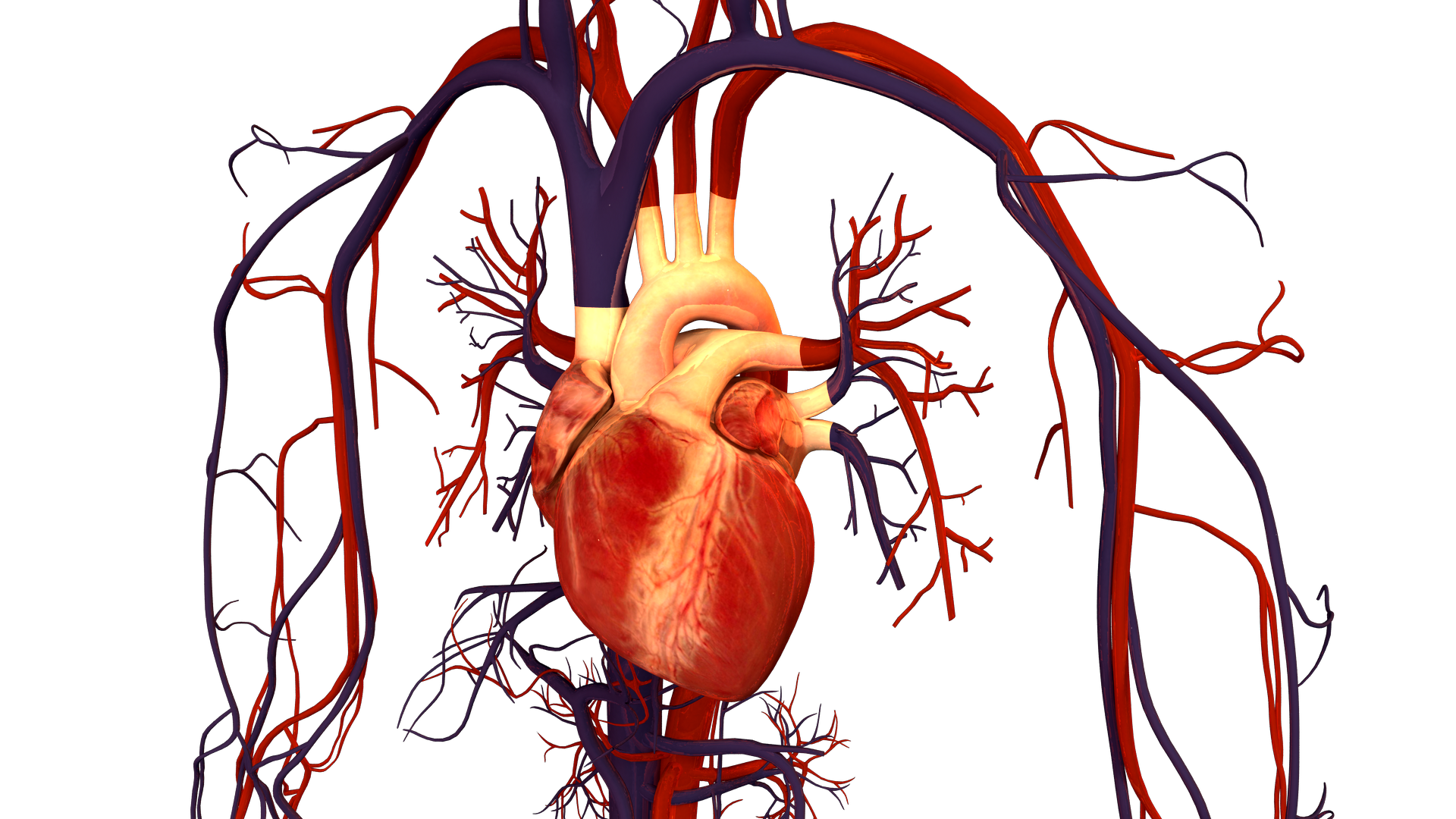 Cardiovascular System Circulatory System Parts And Functions