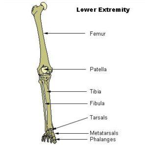 bones of the lower extremity
