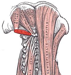 Inferior-oblique-capitis-muscle