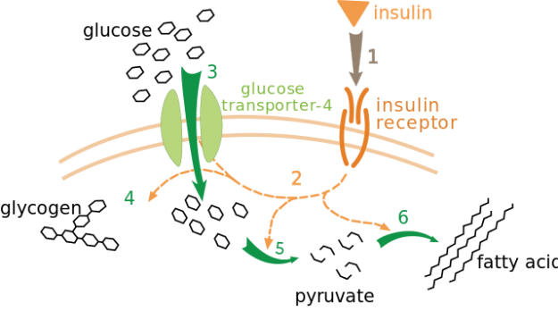 Insulin glucose metabolism