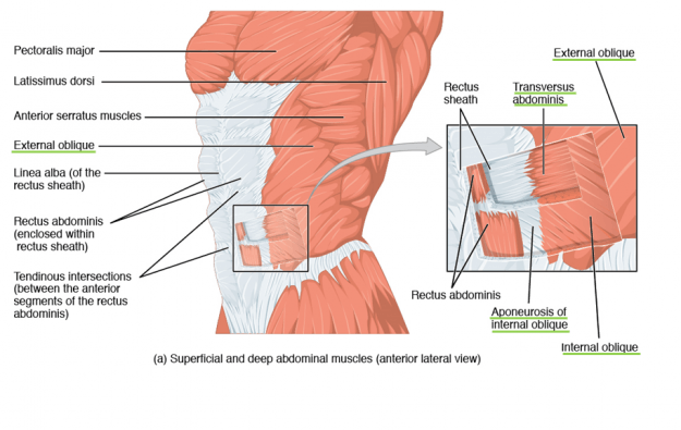 Internal and external obliquus transversus abdominis