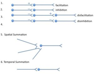 interneuronal relations and summation