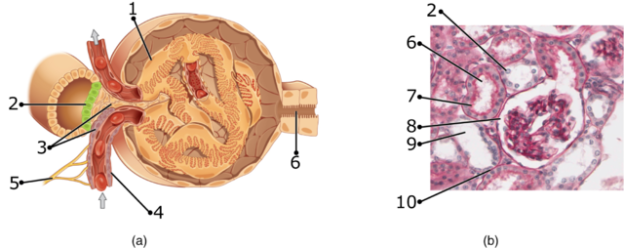 Juxtaglomerular_Apparatus_and_Glomerulus_numbers