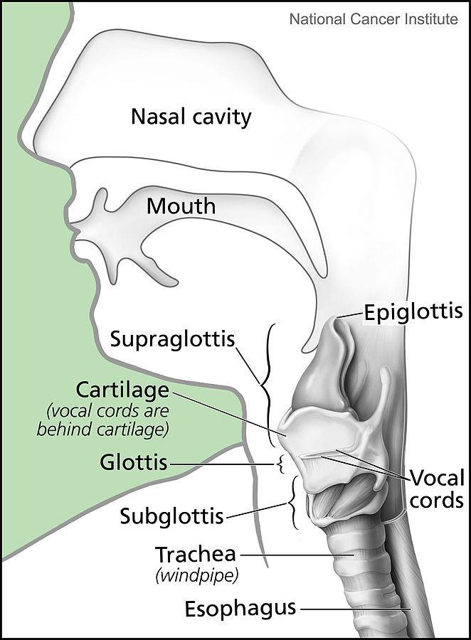 Larynx and nearby structures