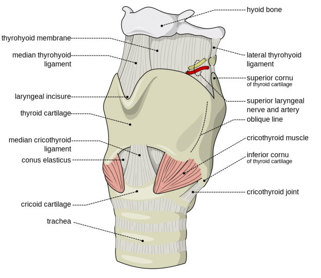 Larynx external