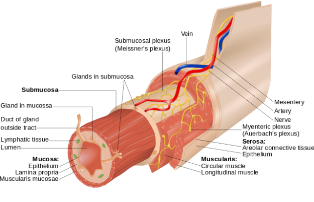 Layers of the Alimentary Canal.