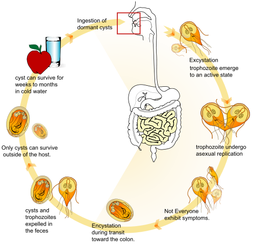 Life cycle of the parasite Giardia lamblia.