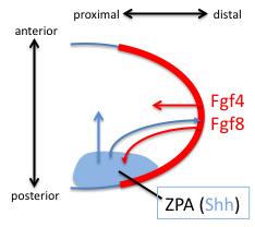 limb bud early signals diagram