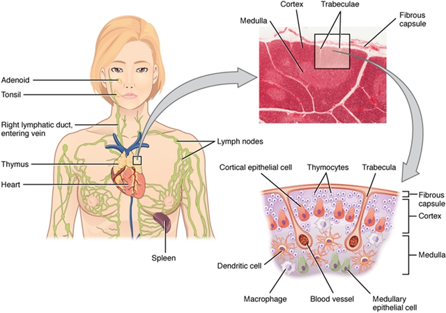 Location, Structure, and Histology of the Thymus