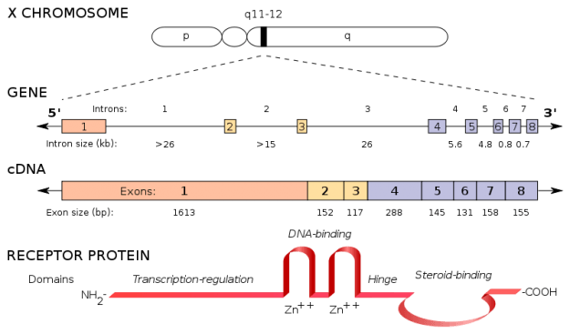 Location and structure of the human androgen receptor