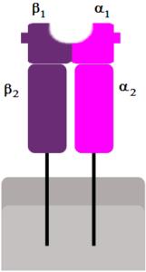 MHC_Class_II antigen processing