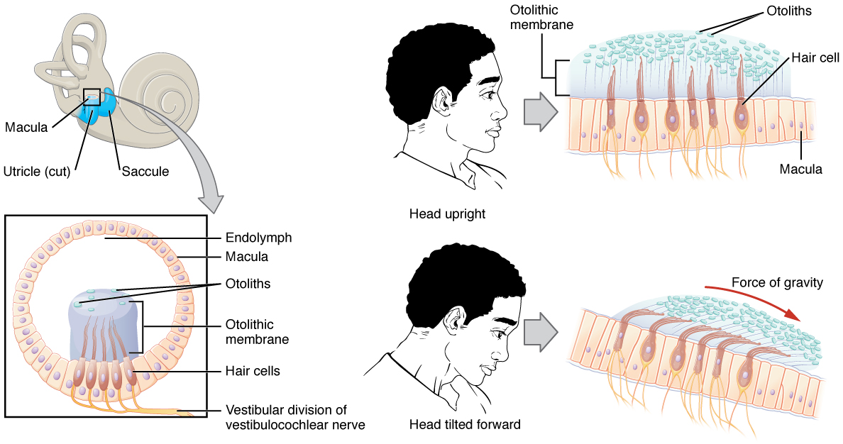 The Sensory Systems of the Human Body | Online Medical Library