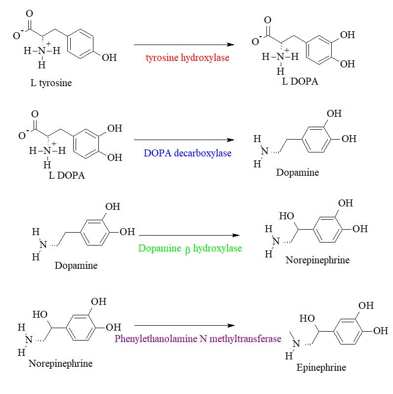 Metabolism of Tyrosine