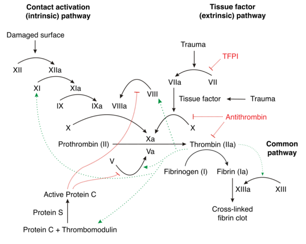 More in-depth version of the coagulation cascade