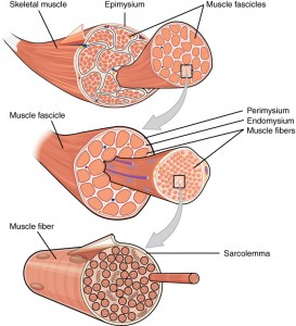 Bundles of muscle fibers called fascicles by perimysium covered. Muscle fibers covered by the endomysium.
